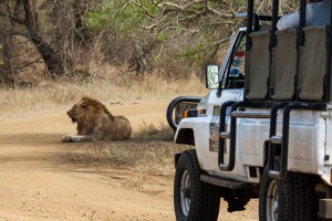 heritage tours lion on safari