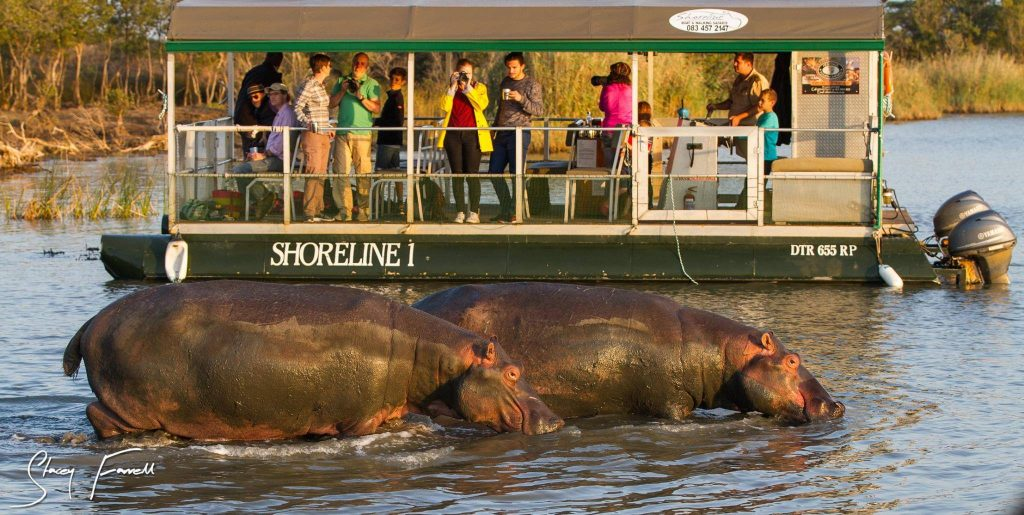 Hippos in and around St Lucia South Africa