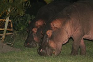 Hippos in St Lucia South Africa